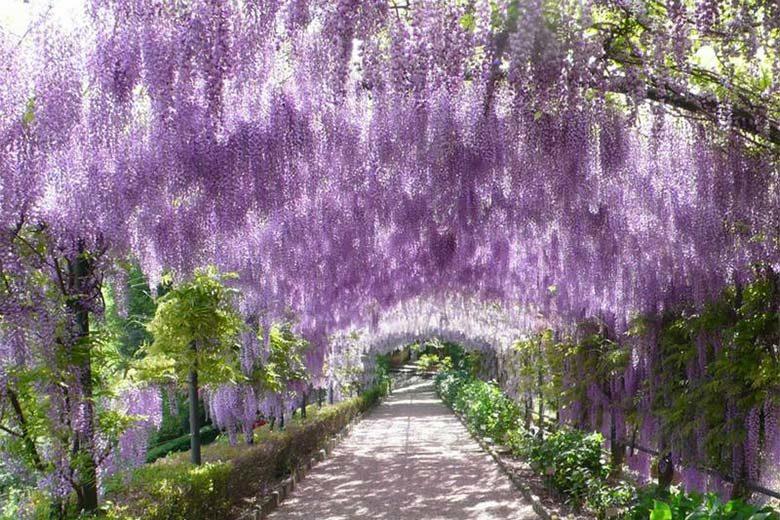 The beautiful wisteria st Bardini Gardens